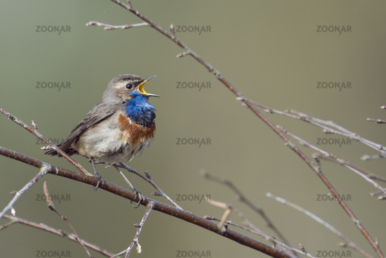 singing loudly.. White-spotted Bluethroat *Luscinia svecica*