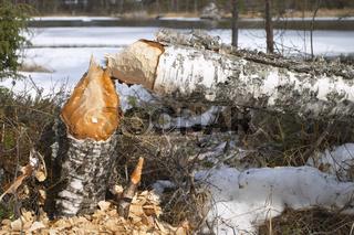 Vom Biber gefaellter Baum