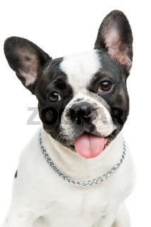 french bulldog dog isolated on white background