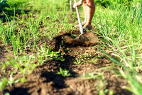 Man clears dirt with a rustic garden hoe along a path area next to an onion bed in a lush green garden