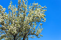 white blossom on cherry tree in garden in Kiev