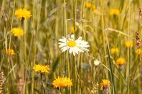 Summer meadow with single daisy