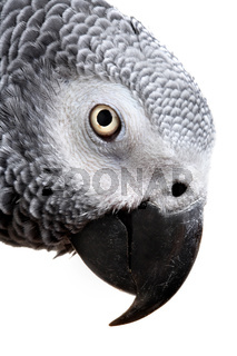 African Grey Parrot isolated on white