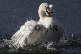 Hoeckerschwan, Gefiederpflege, Cygnus olor, Mute swan, clean one's plumage