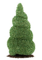 boxwood plant isolated on white background