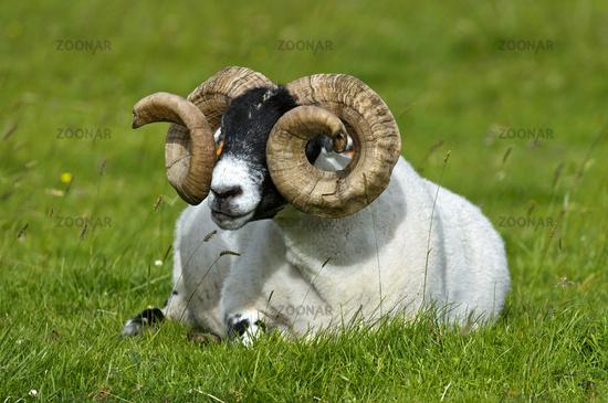 Scottish Blackface sheep, ram