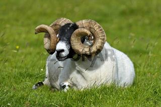 Schottisches Blackface Schaf, Bock