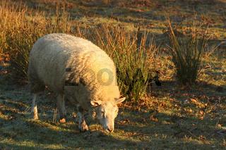 Schaf auf Weide mit Flatterbinsen im Winter