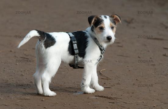 Jack russell terrier welpen schwarz