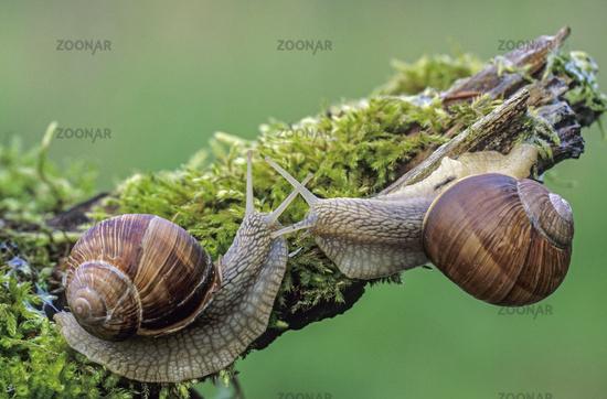 Burgundy Snail is a large air-breathing land snail  -  (Roman Snail - Photo meeting) / Helix pomatia