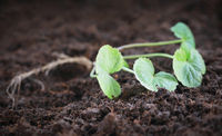 Medicinal thankuni seedling