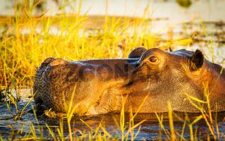 Hippopotamus Chobe River