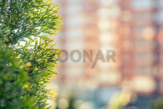 Thuja foliage in the sunlight.  Multistoried building is out of focus. Urban background. Shallow depth of field, bokeh