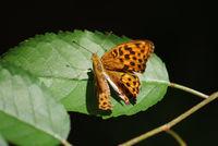 Closeup of an Argynnis Aglaja butterfly