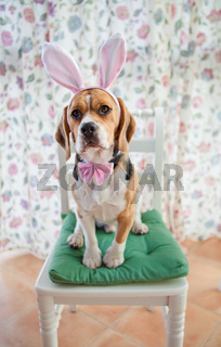 Junger Beagle in Hasenkostuem