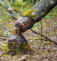 Birch tree fallen after being eaten by beaver