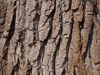 Willow bark close-up