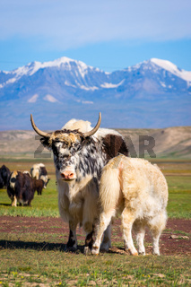 Baby yak drinking milk