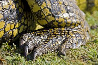 Fuss vom Nilkrokodil (Crocodylus niloticus) am Ufer vom Chobe Fluss, Chobe River, Chobe National Park, Botswana, Afrika, foot Nile crocodile, Africa