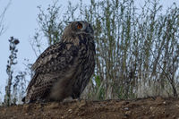 against the evening sky... Eurasian Eagle Owl *Bubo bubo* perched on top of the scarp of gravel pit