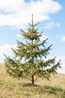 Young fir tree in park