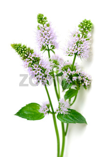 fresh peppermint flowers and leaves isolated on white