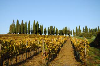Vineyard in Chiantishire