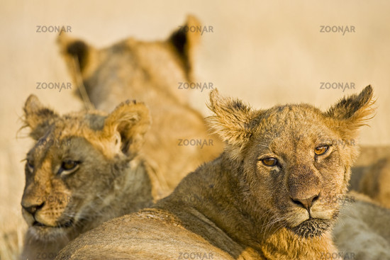 Young Lions, Chobe National Park, Botsuana Africa