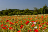 Poppies in cornfield 15