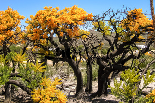 Christmas trees in bloom, Cape le Grand National Park, Western Australia