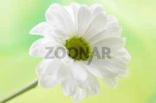 weisse Margerite/ white daisy
