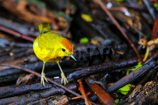 Male Yellow Warbler on Santa Cruz Island in Galapagos National Park, Ecuador