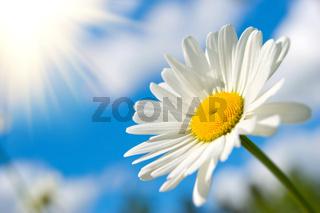 sunny daisy
