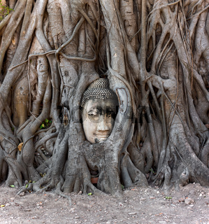 Buddha head in banyan tree, Thailand