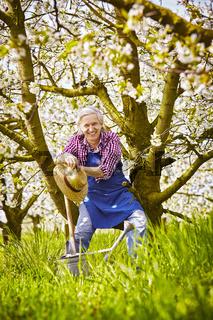 Gardener cherry tree branch sit