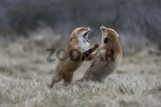 der Angriff... kämpfende Rotfüchse *Vulpes vulpes*