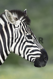 Plains Zebra portret in Addo Elephant National Park