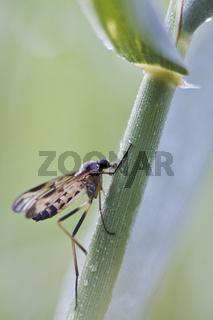 Gemeine Schnepfenfliege (Rhagio scolopaceus) - Snipe-fly (Rhagio scolopaceus)