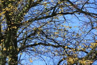 herbstbaum vor blauem himmel