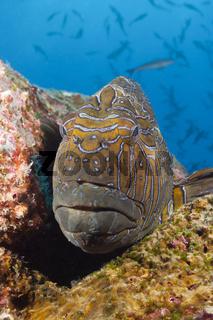 Hieroglyphen-Korallenwaechter, Galapagos, Ecuador
