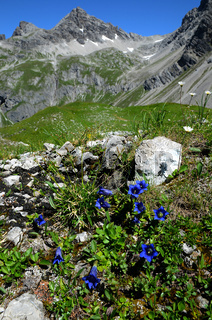 Enzian vor Alpenpanorama, Allgäuer Alpen, Österreich