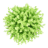 top view of small boxwood plant isolated on white background