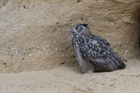 watching eager... Eurasian Eagle Owl *Bubo bubo* sitting in a sand pit, nice side view