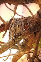 african scops owl, Kruger NP, South Africa