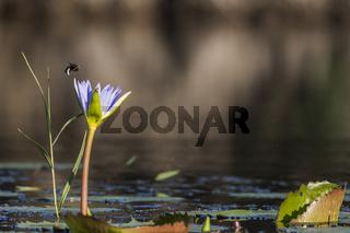 Seerose mit Biene, Kosi Forest, iSimangaliso Wetland Park