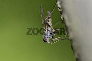 Snipe Fly on green Background  - Rhagionidae
