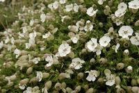 Blütenteppich mit weissen Lichtnelken, Südküste Guernseys Blooma