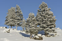 blue sky and snow covered trees... Yellowstone National Park *USA*