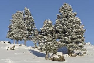 tiefblauer Himmel und ein paar Nadelbäume... Yellowstone Nationalpark *Nordamerika*