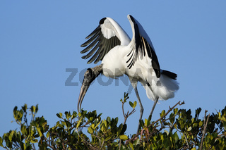 Wood stork spreading wings